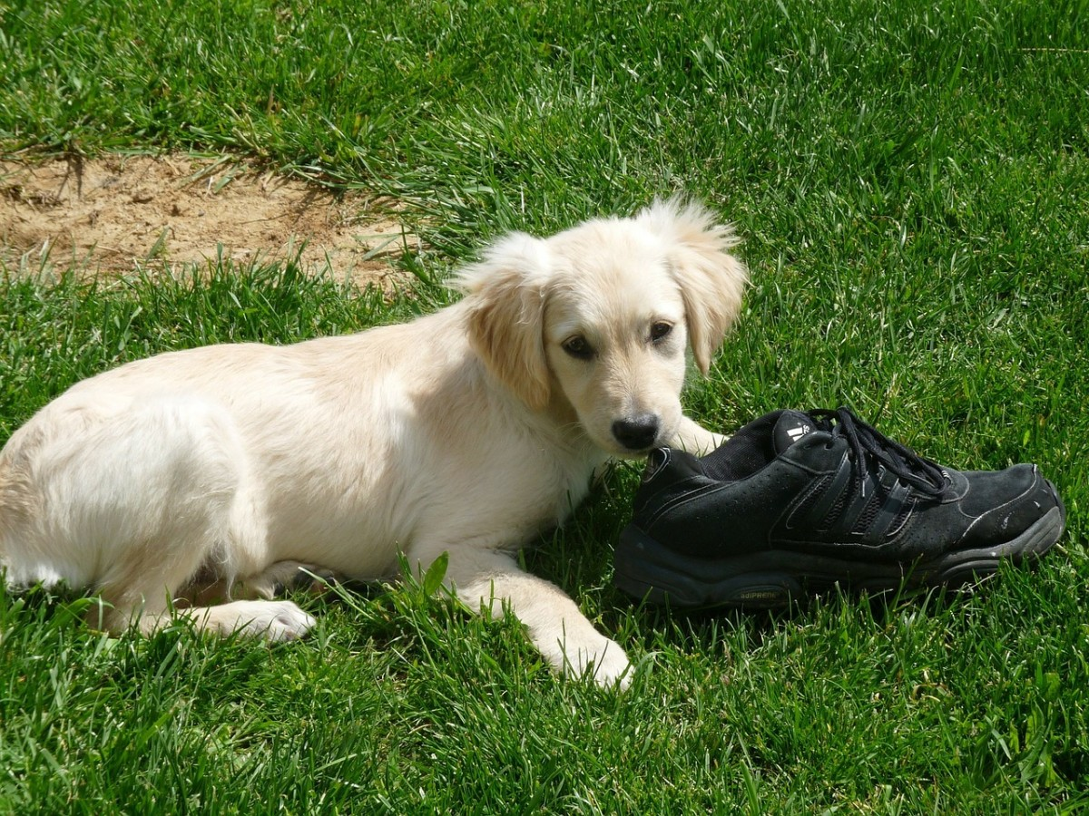 Bored dogs will find shoes to be very attractive chew toys