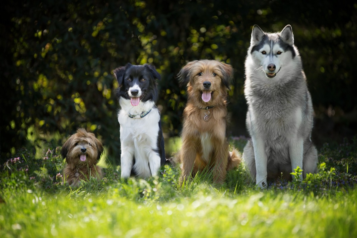 You can train your border collie to tolerate other calm dogs