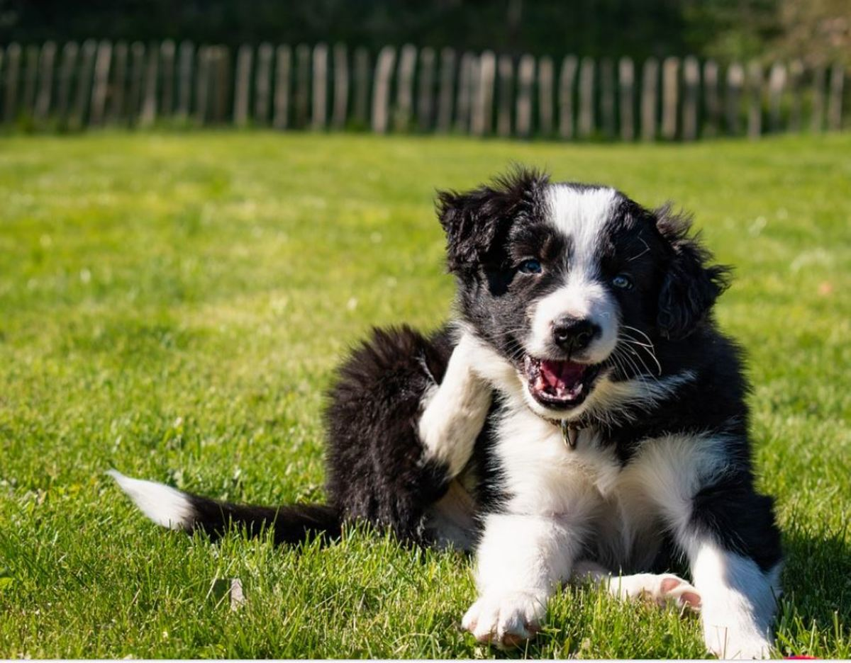 Tail chasing and scratching in puppies can be a sign of external or internal parasites