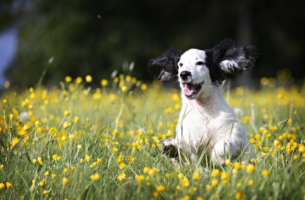 When dogs bark when playing they produce a typical play bark.