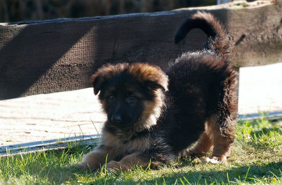 Puppies barking while doing a play bow, are likely barking to get your attention to play.