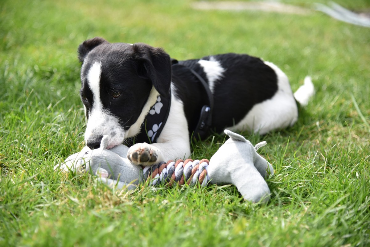 """Why do dogs destroy beds, pillows, comforters and toys? Most likely, because it's a lot of fun to pull out the """"innards"""" out of toys, beds, etc."""