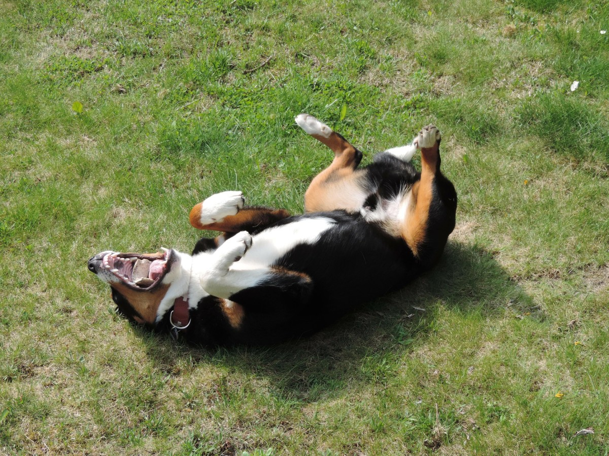 A dog rolling in poop can be disguising his smell.