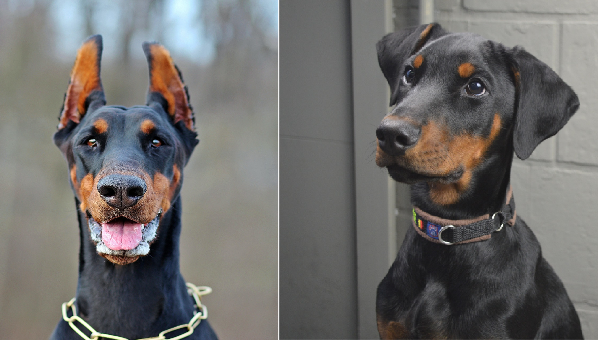 A Doberman with cropped ears and a Doberman with uncropped ears.