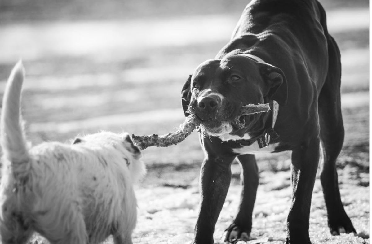 Growling when playing tug is a normal behavior.