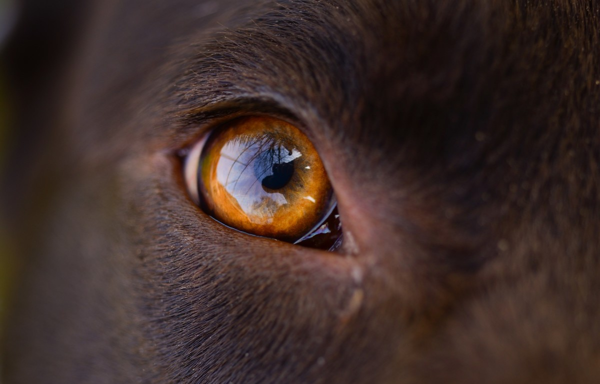 Your dog's eyes are the window to his health.