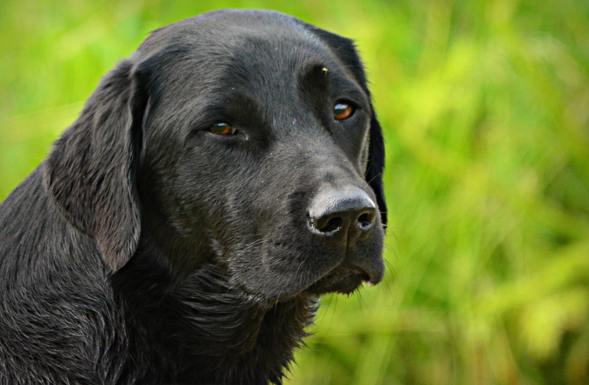 Squinting is often a sign of eye pain in dogs.