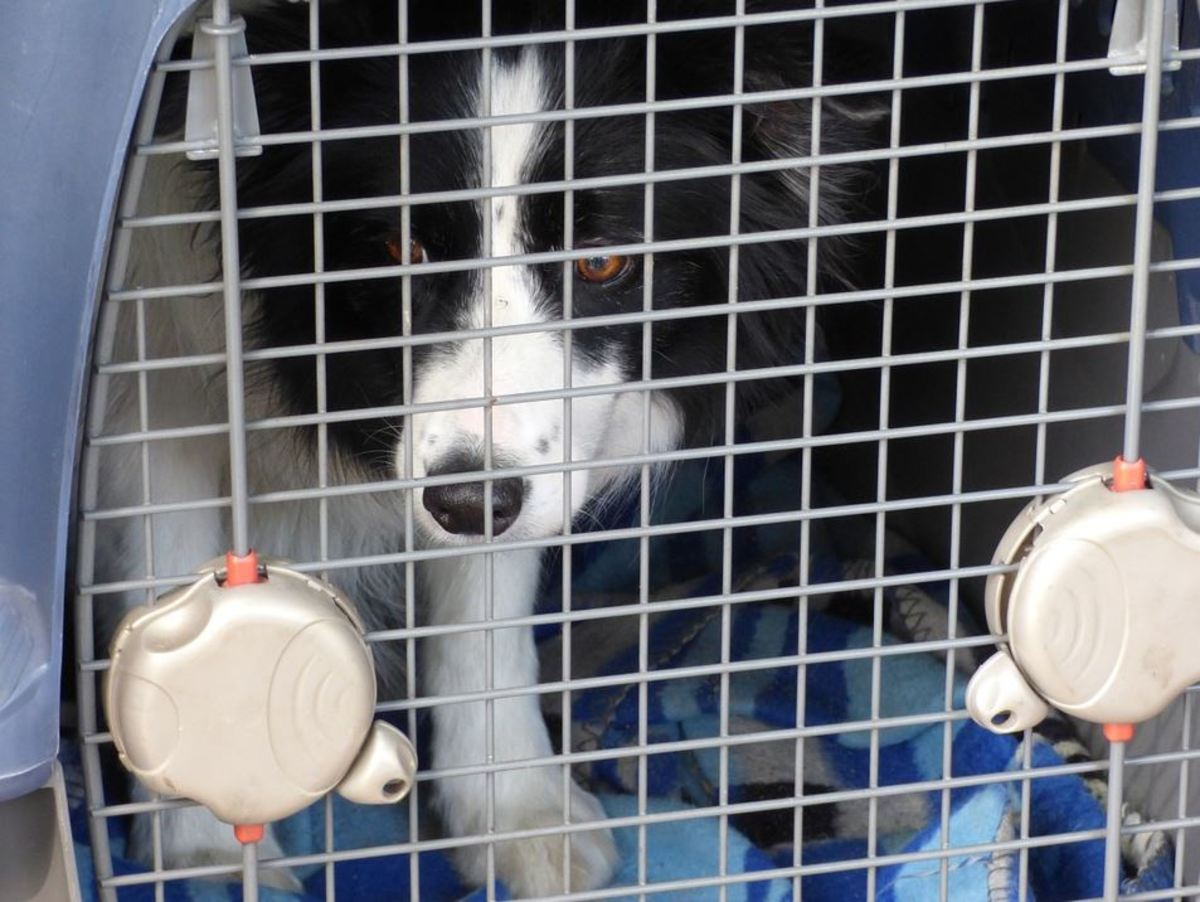 Puppis often pee in their crates when crated for longer than they can hold it.
