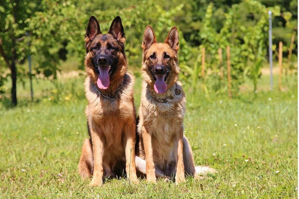 Males German shepherds are much larger, look heavier and have a broader head and wider chest compared to females which look more feminine and slender.
