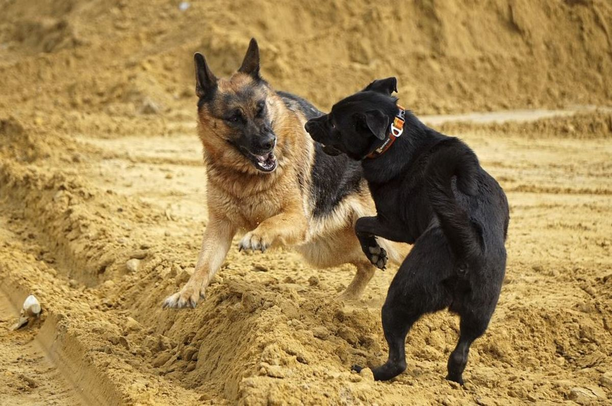 At the dog park, as your German shepherd matures, he may no longer back off from a challenge.