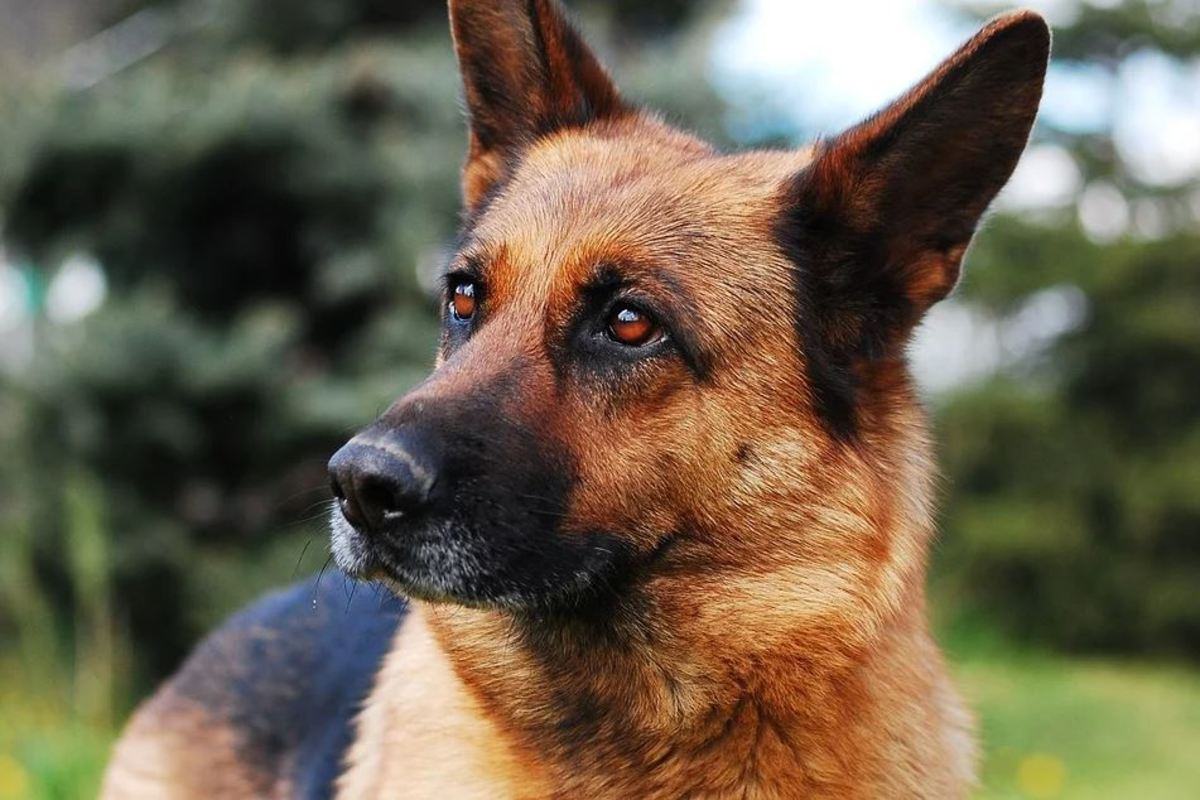 Your German shepherd will likely more and more alert and he may sleep more lightly, easily awakening and possibly reacting to any sound.