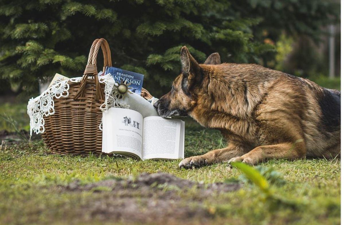 Make sure you keep that smart German Shepherd brain busy.