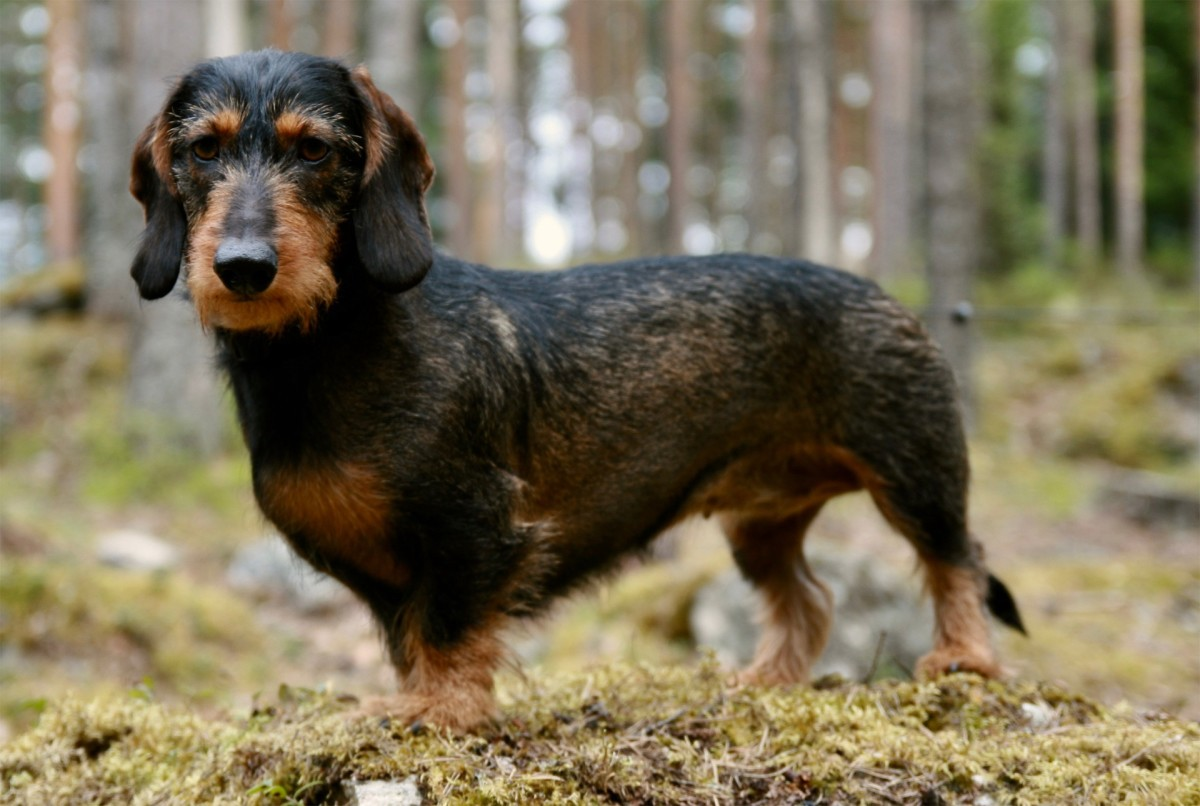 """The dachshund's long back gained them the nickname of """"sausage dog."""""""
