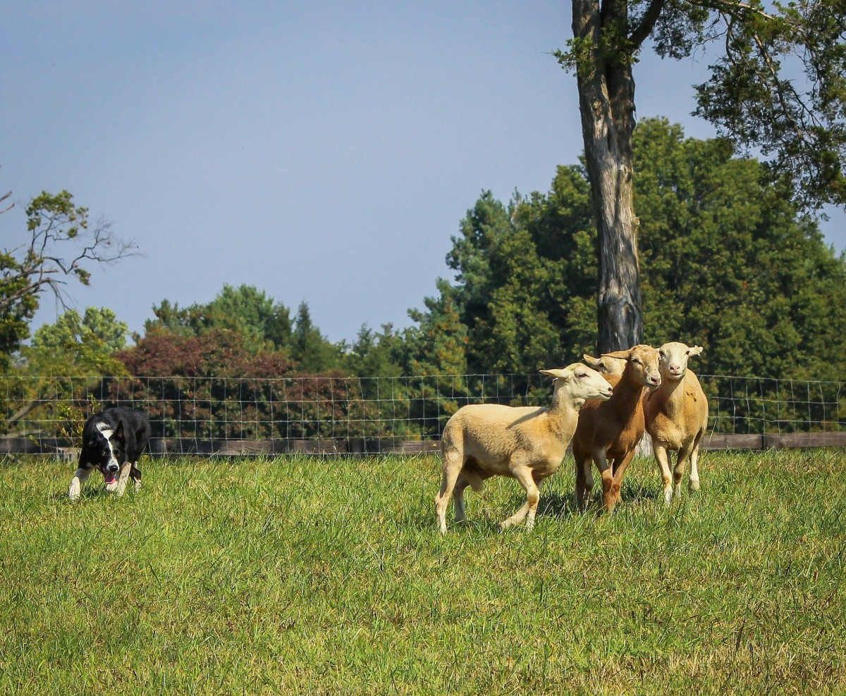 Border collies were selectively bred as herding dogs.