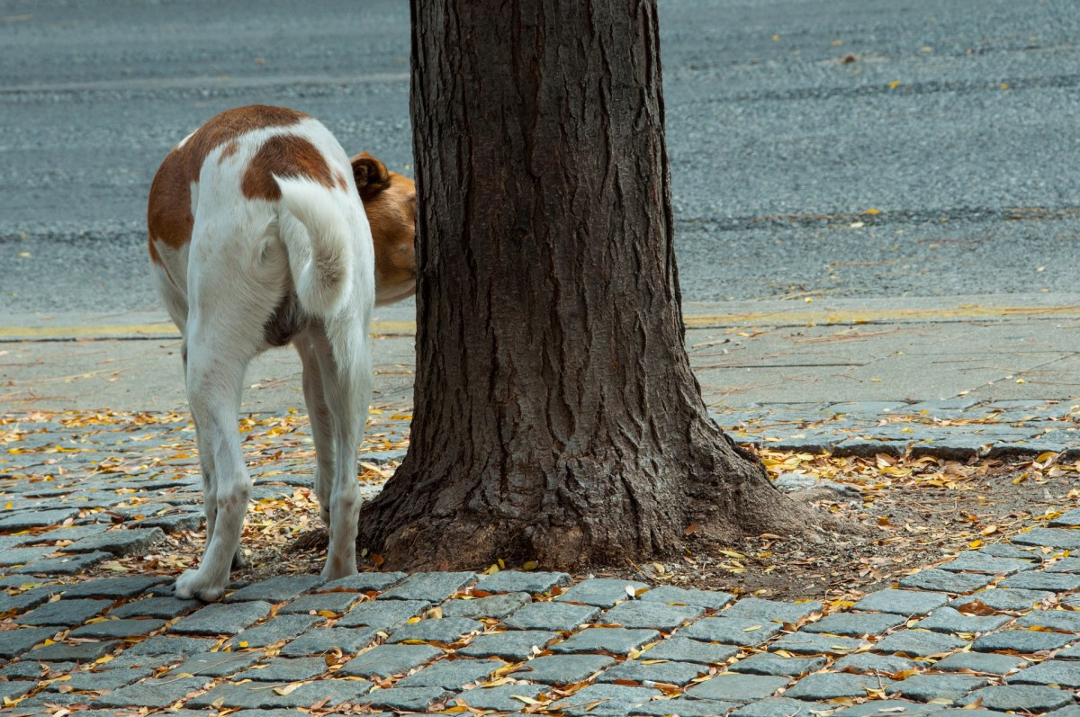 Dogs are attracted to areas that are frequently urine marked by other dogs