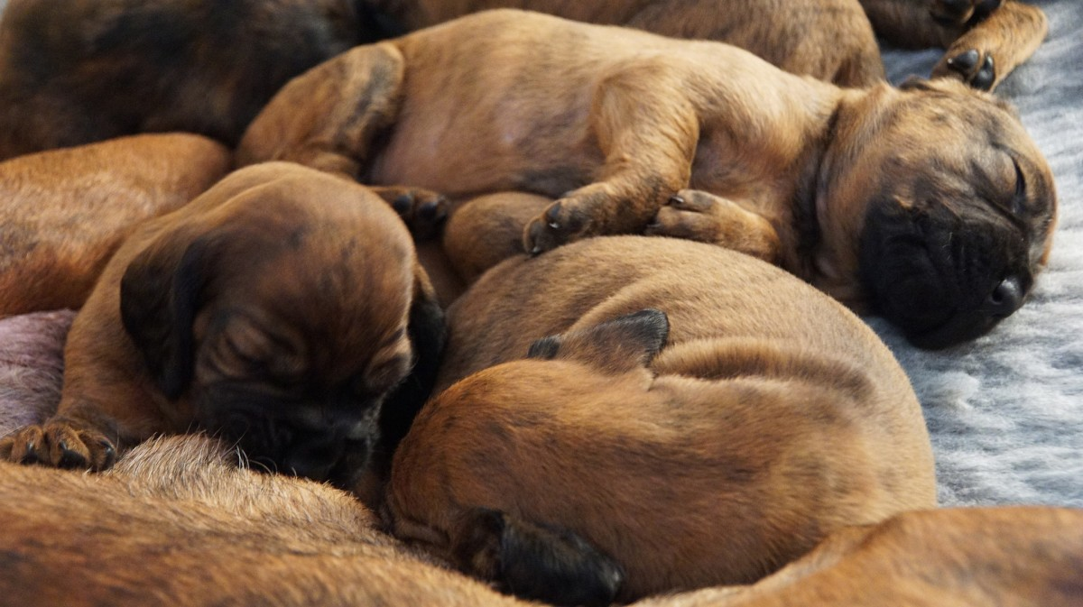 Puppies tend to exhibit distress vocalizations when separated from their siblings.