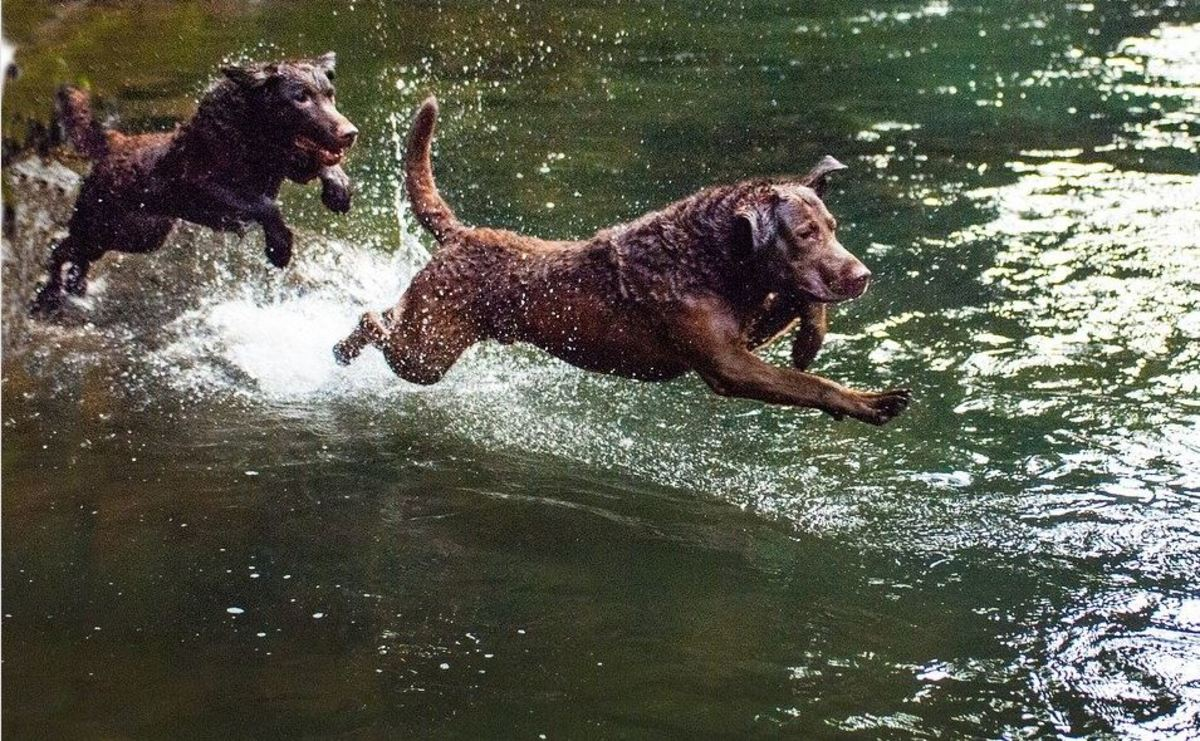 Chesapeak bay retrievers with dark chocolate coats blended in well with the mud banks of the Chesapeake bay.