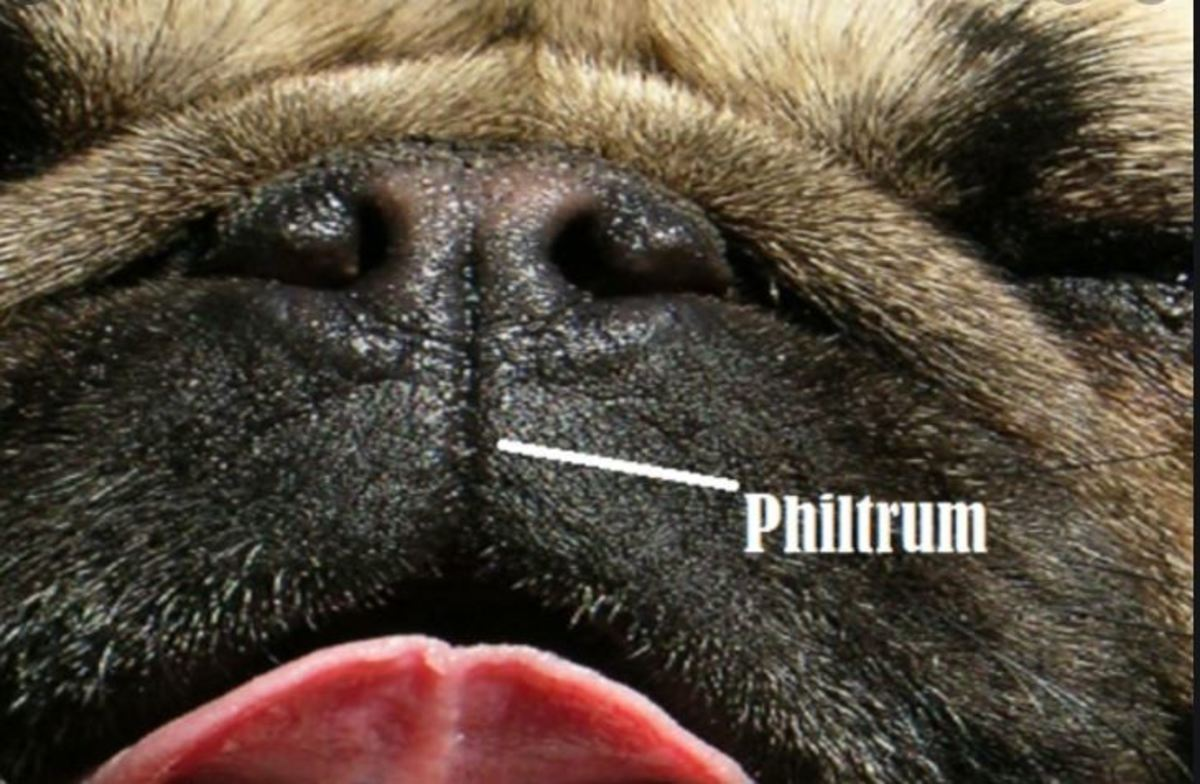 A dog's philtrum help carry moisture to the nose.