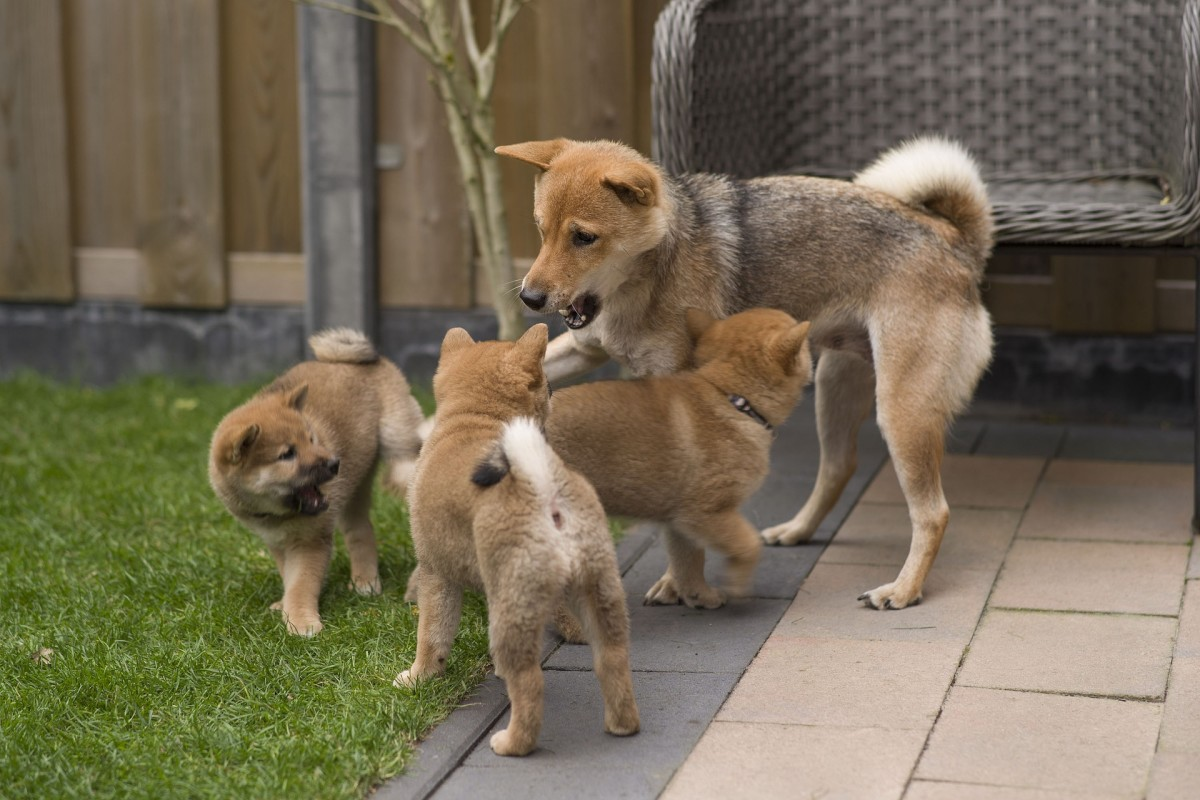 Your new puppy will miss his litter mates and mom the first night in your home.