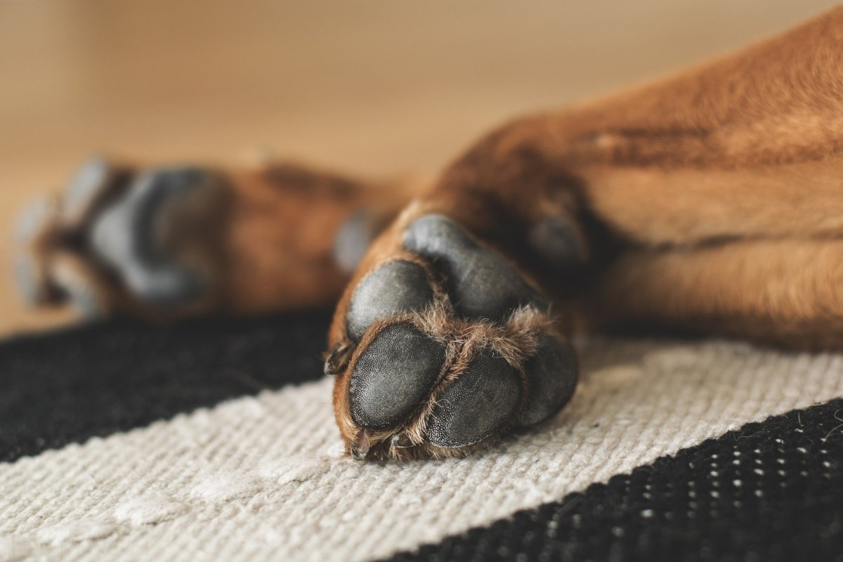 When it comes to dogs, there are several reasons why a dog's paws develop blisters.
