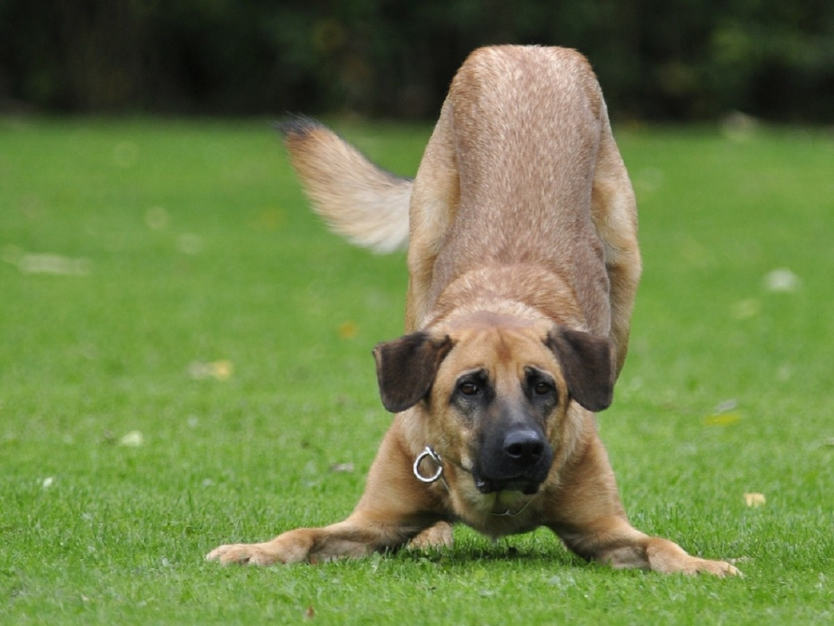 """It's called the """"play bow"""" and encompasses a dog stretching his front legs out in front of him."""