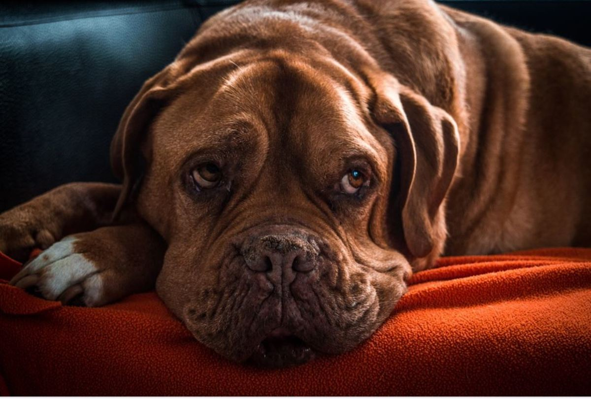 Old dogs may leak urine while sleeping