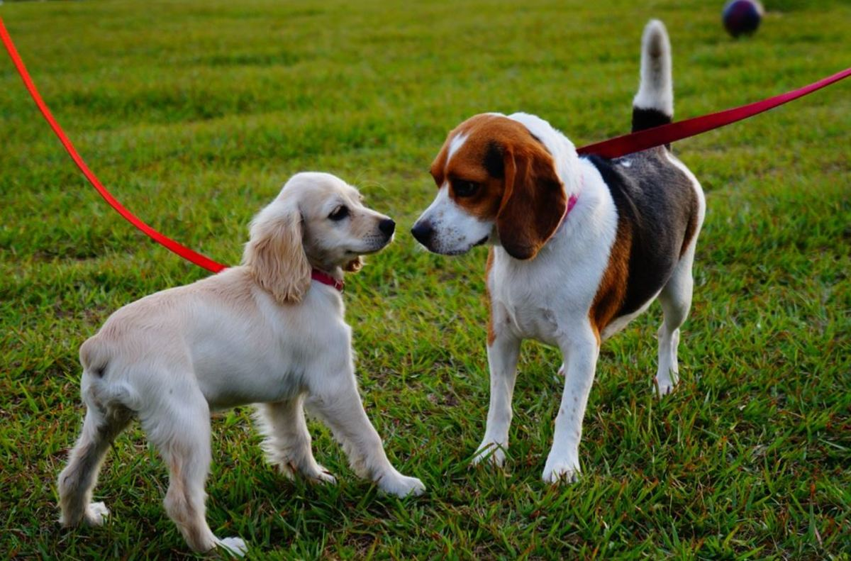Puppies can develop GDV too. Therefore, it is advisable to wait before walking or exercising if they just ate.