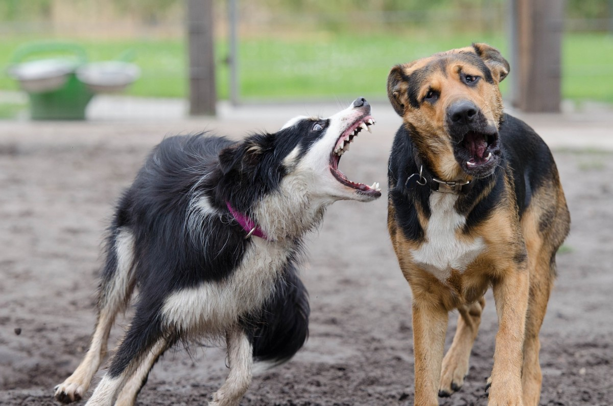 It's not unusual for border collies to bite because they dislike other dogs.