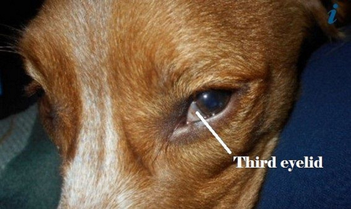 Dog with third eyelid showing.