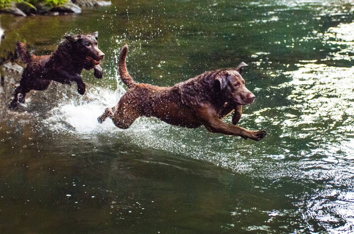 Chesapeake Bay Retrievers have webbed feet which helped them swim through the icy waters of the Chesapeake Bay.