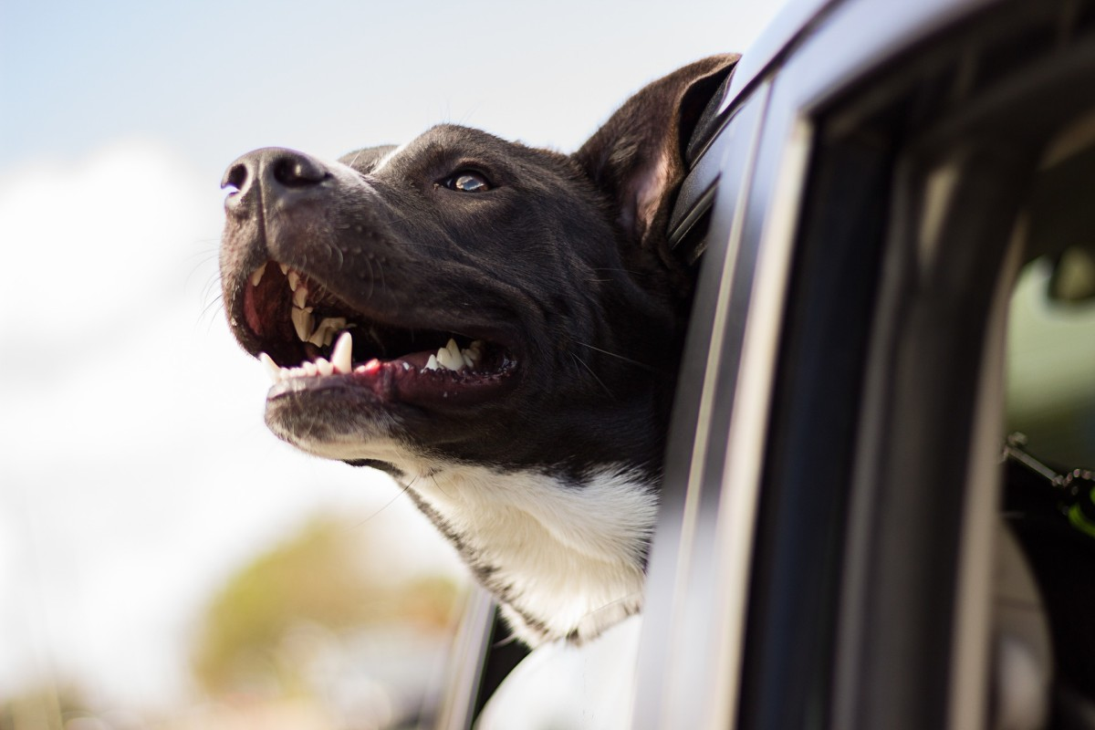 While humans enjoy the gorgeous scenery, dogs on cars rides enjoy exposing their noses to the wealth of information as the world passes by.