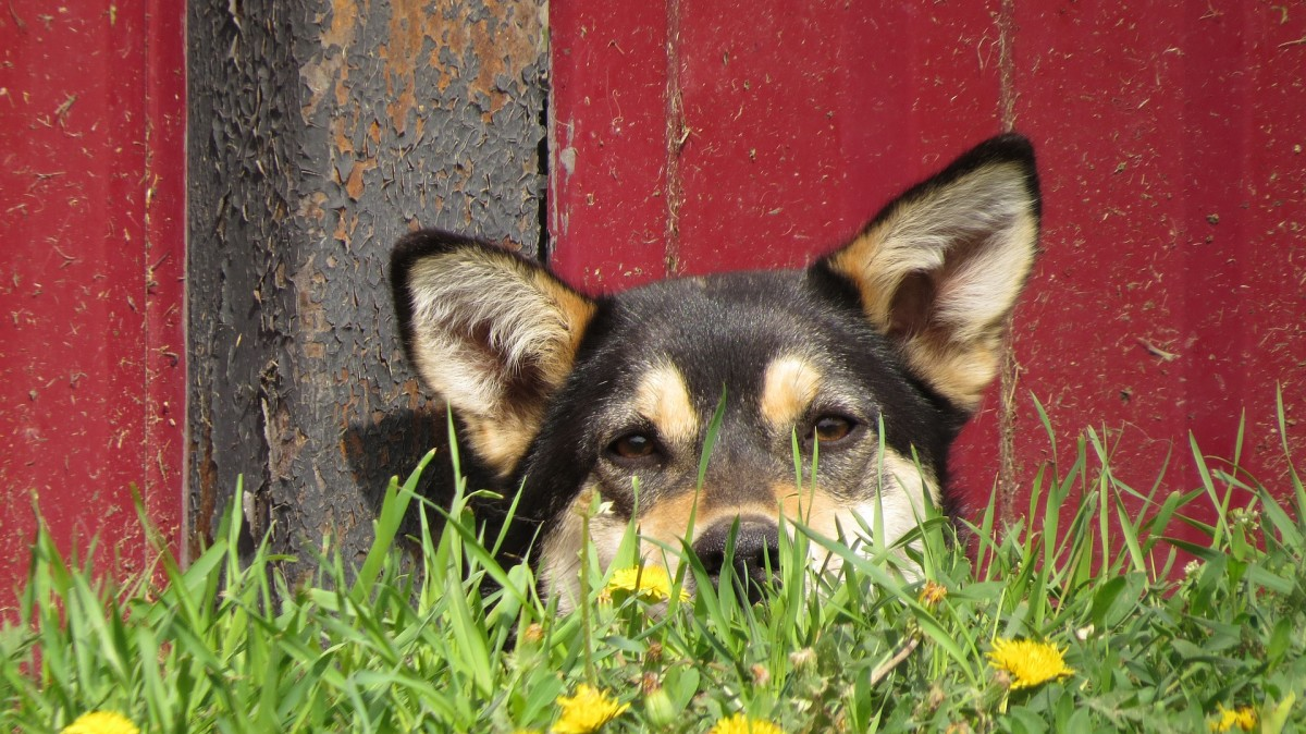 Many dogs escape the yard in hopes of finding a job to do.