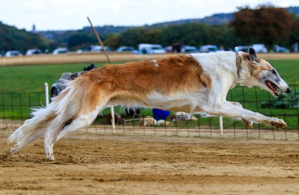 The amazing double suspension gallop seen in sighthounds is possible courtesy of an arched back.