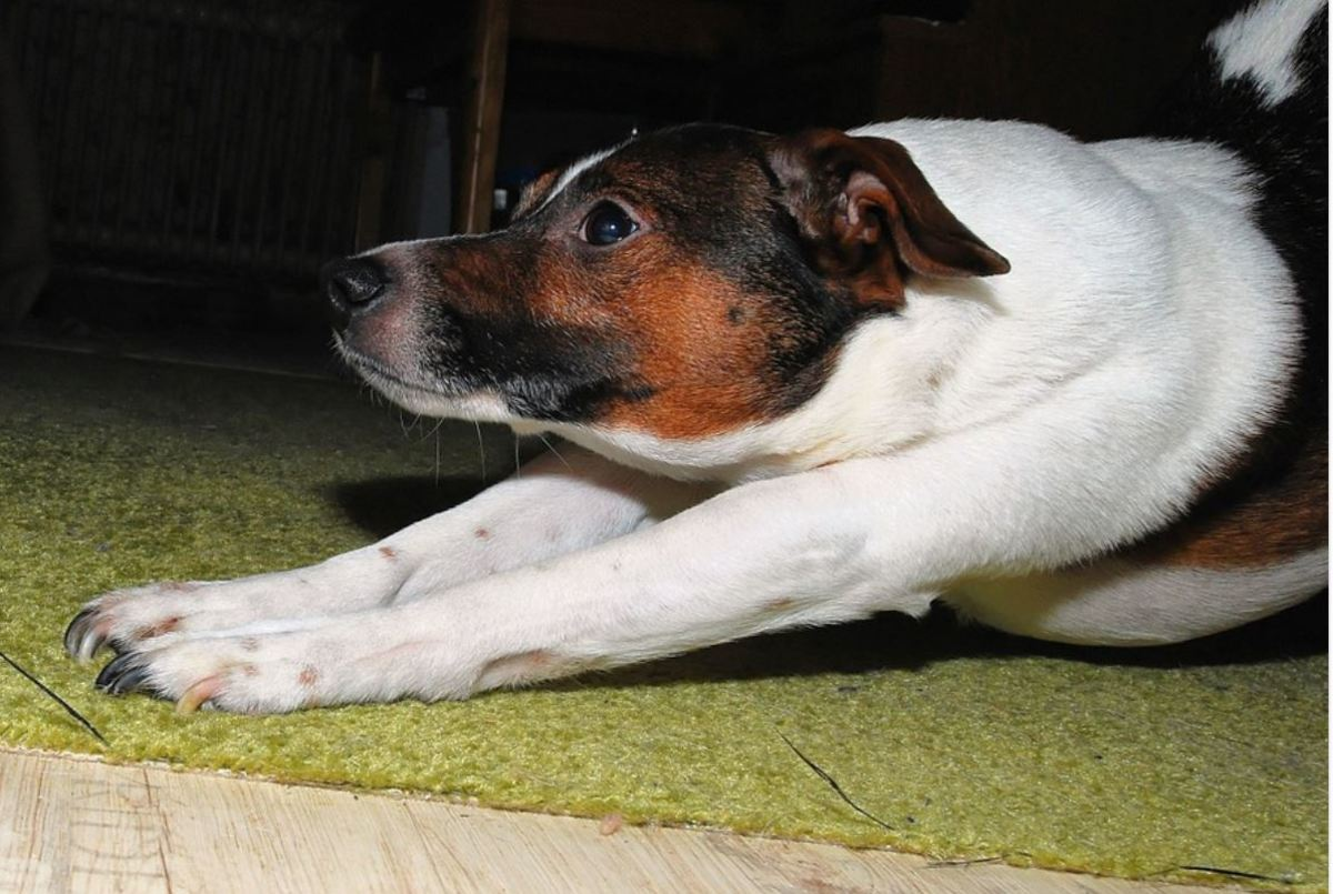 """The """"greeting stretch"""" is often seen when dogs wake up from a nap."""