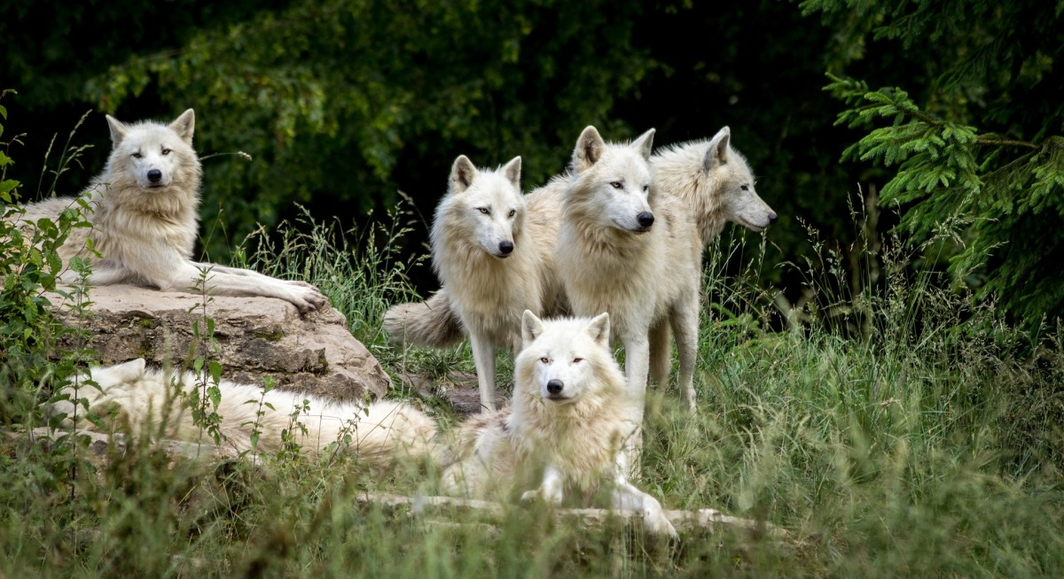 American biologist and wolf behavior expert, David Mech, decided to study wolves in a natural setting.