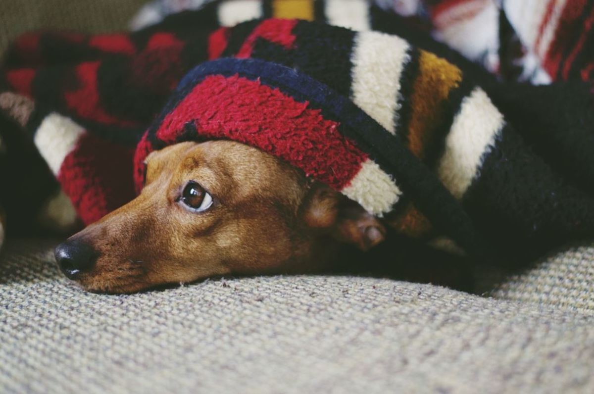 Sleeping curled up in a ball under the covers is a Dachshund's favorite sleeping position.