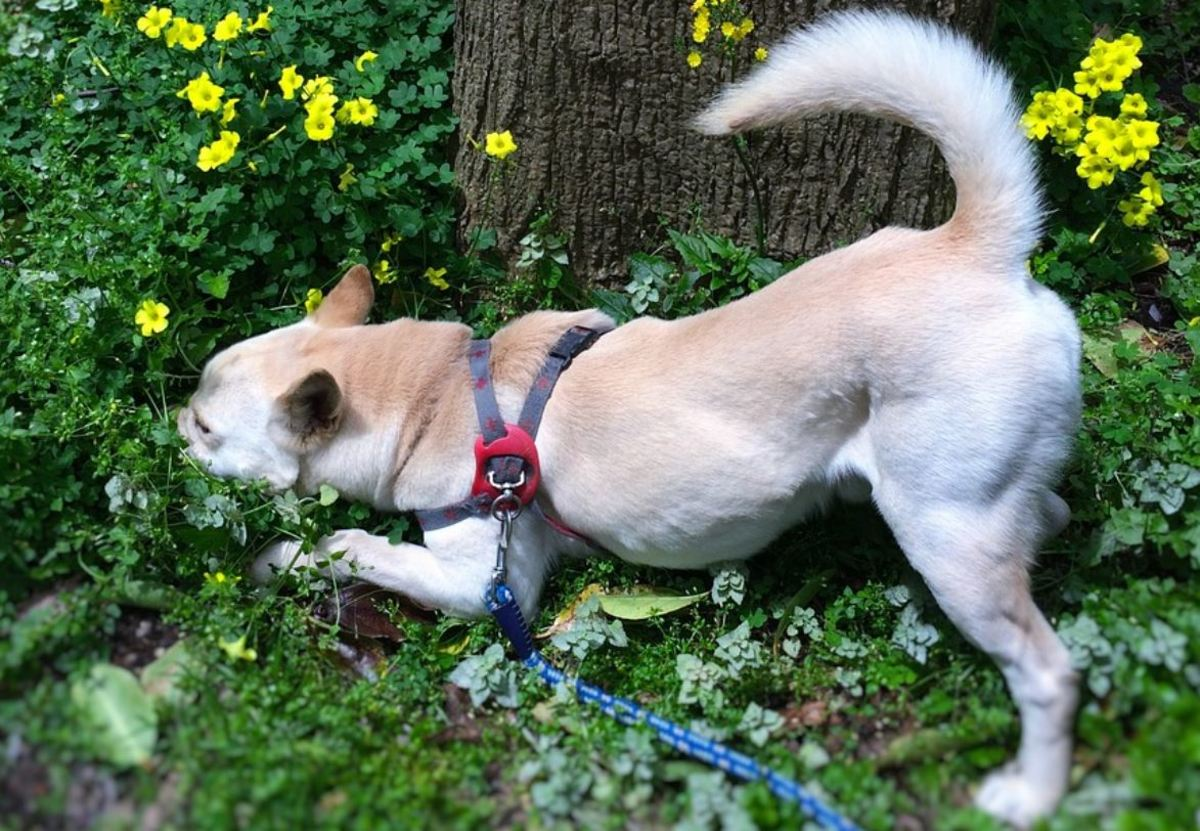 A harness is a safer alternative to collars for walking