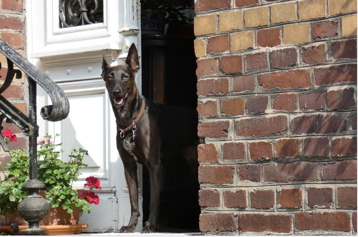 Female dogs in heat may ask more often to be let out.