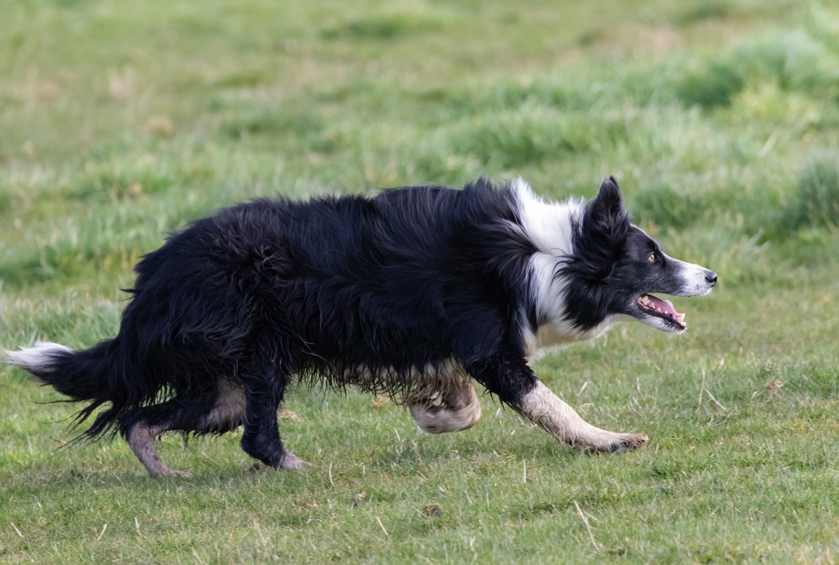 Border collie staring and getting ready to chase.