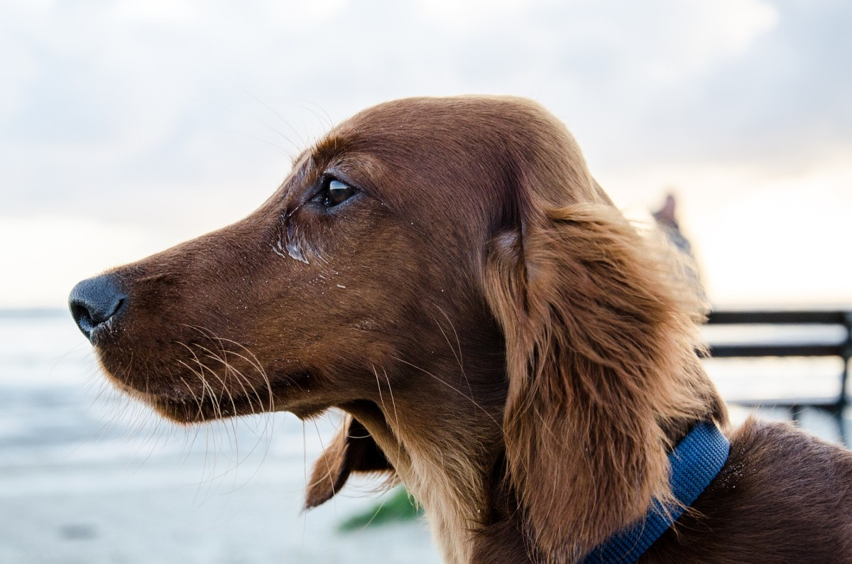 Most dogs have a little bump from which the whiskers under the chin sprout from.