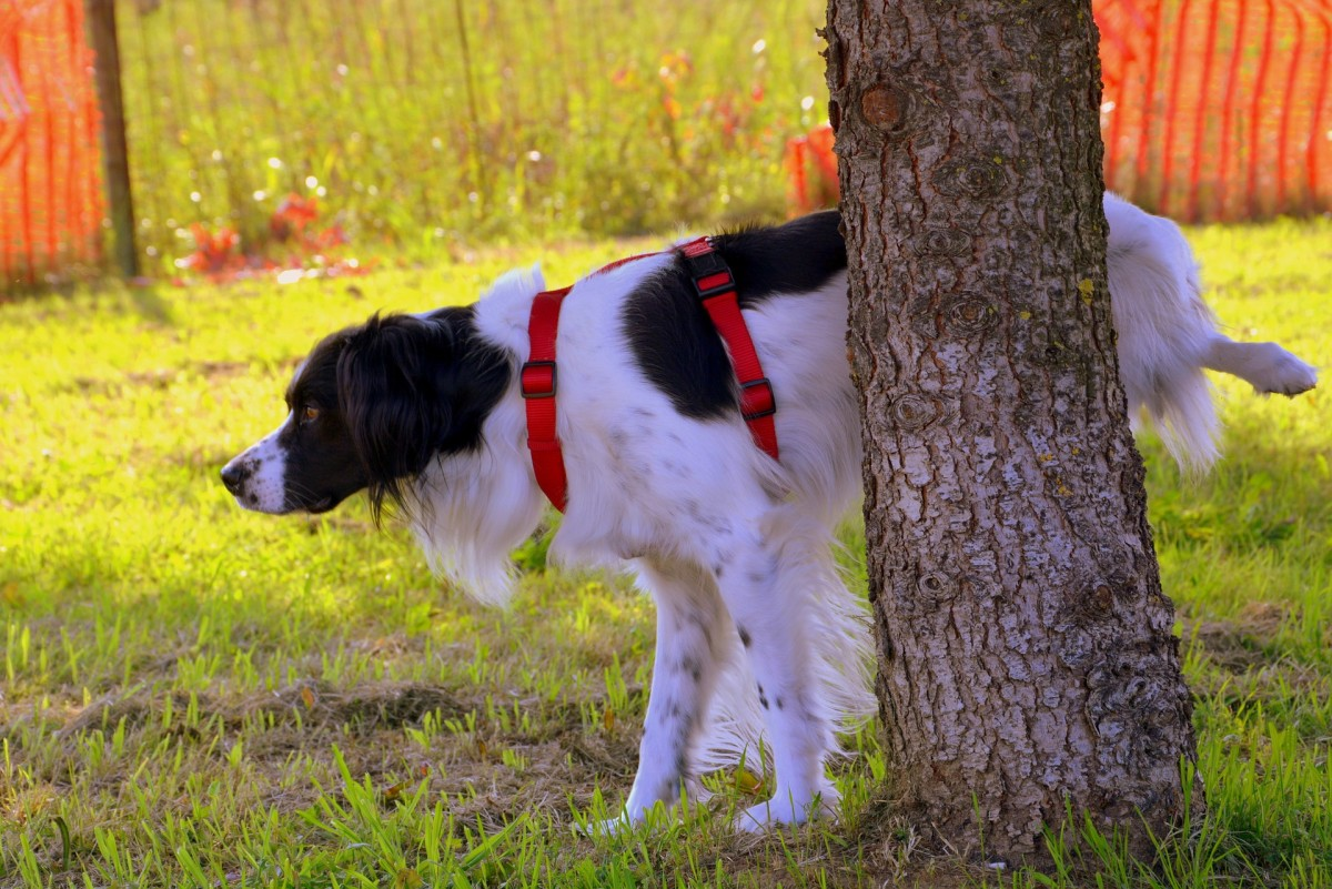 Intact male dogs usually mark with urine vertical surfaces that, from their perspective, stand out