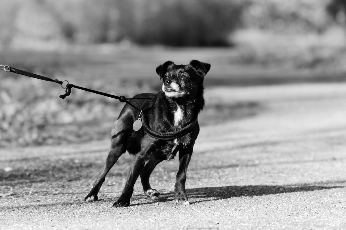 For some dogs, restraint from a leash causes frustration.