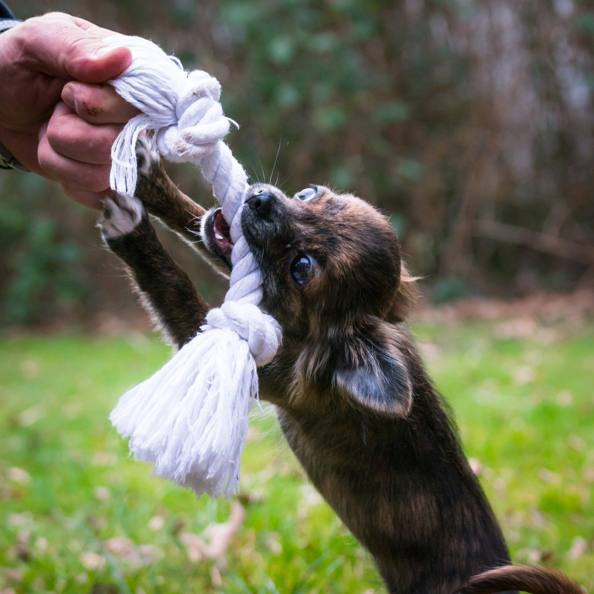If your dog jumps up and bites you on walks, it may be possible to redirect the behavior to a tug toy.
