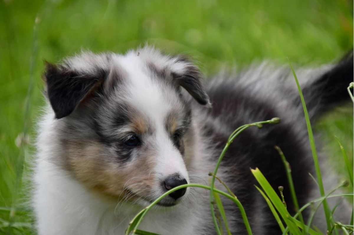 Puppies are attracted to the movement of tall blades of grass