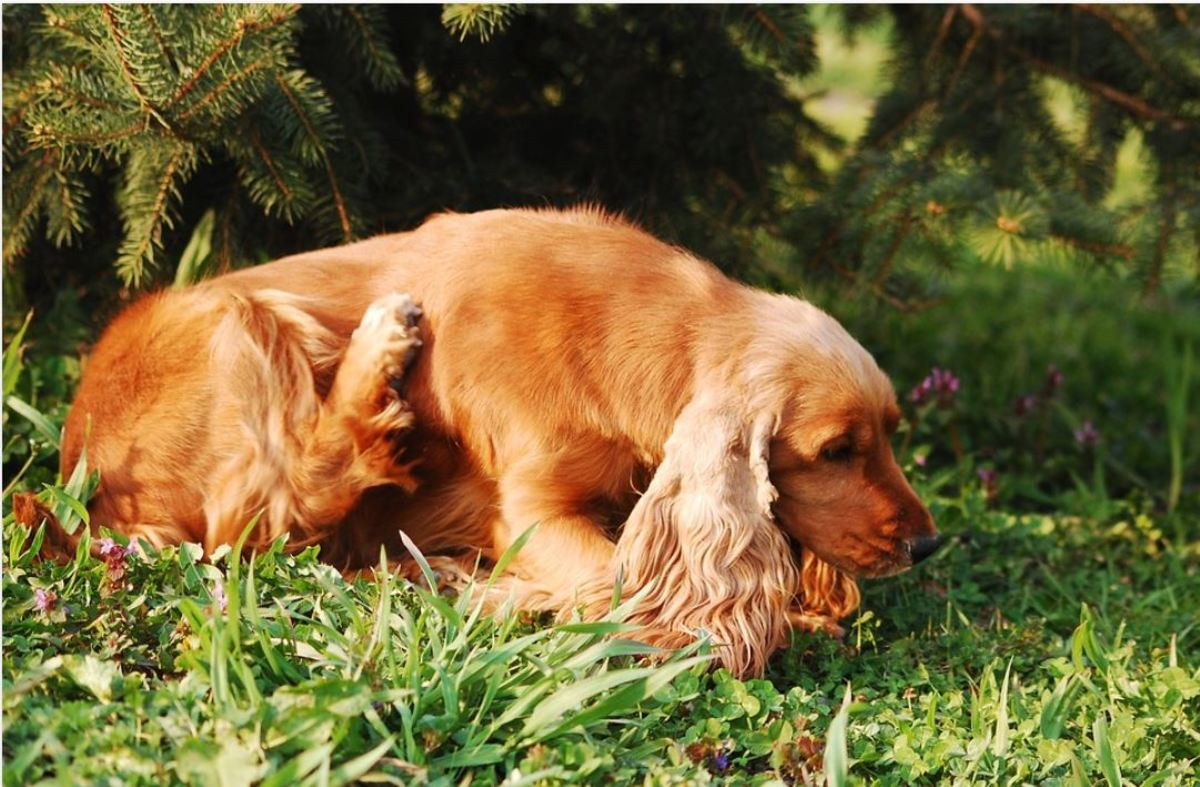 Atopy in dogs often manifests as excessive itchiness, usually around the face, paws, underarms, or groin.