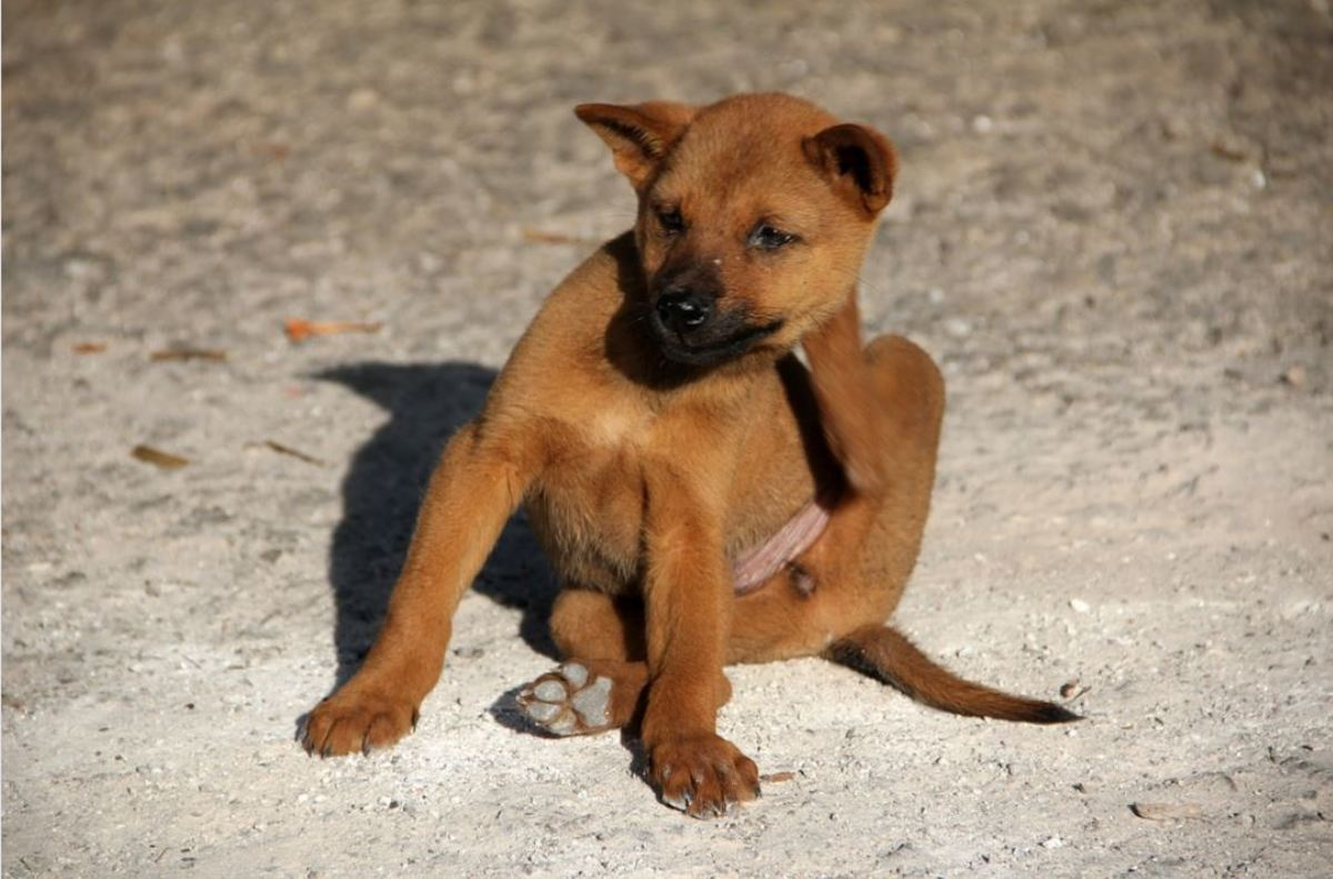 Sarcoptes mites cause excessive itchiness in dogs.