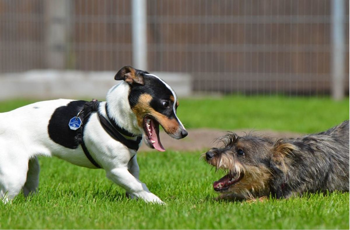 Play faces may occur in both solitary or social play involving other dogs or humans.