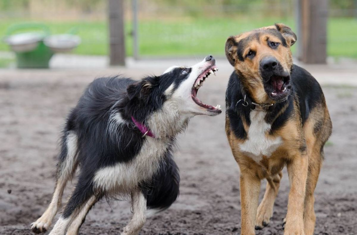 The shark-like, open-mouth lunging in this border collie may look scary, but this is just a captured frame in time. Turns out, these two dogs are just playing.