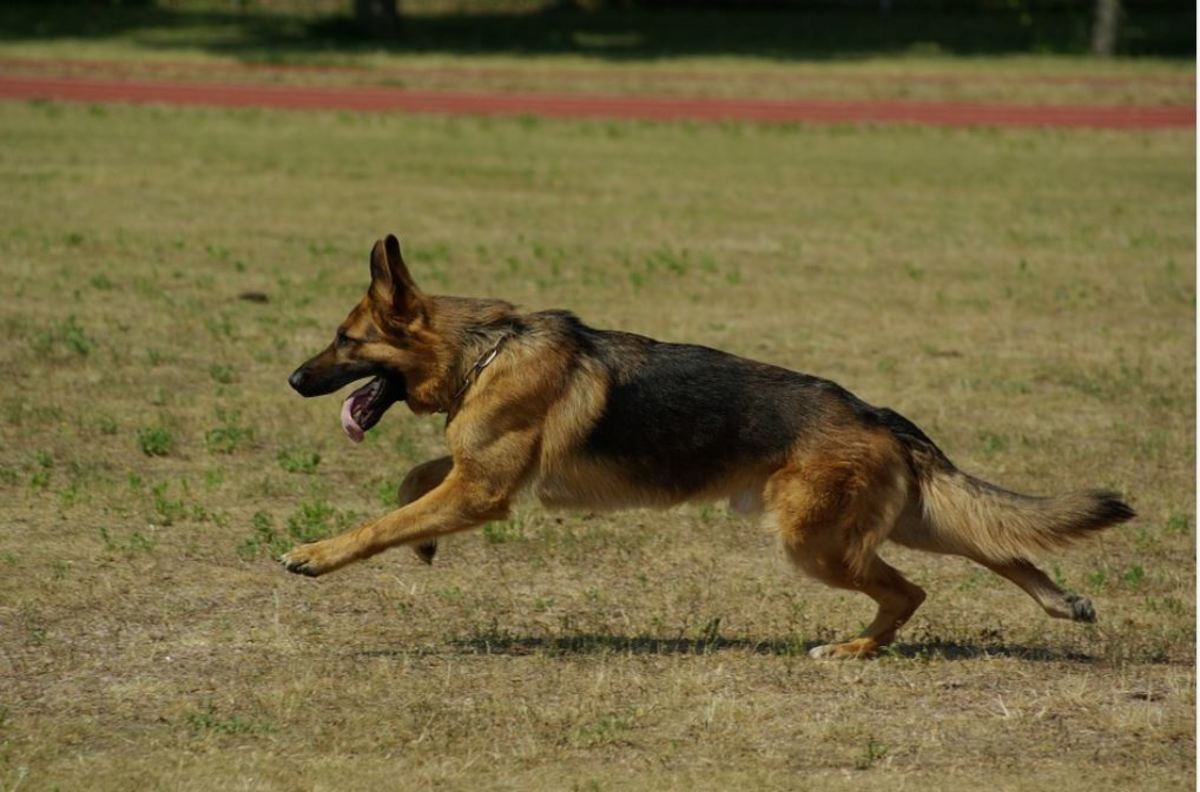 German shepherds are prone to ACL tears