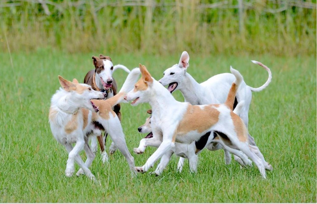 """Several dogs may """"pack up"""" and bully one particular dog."""